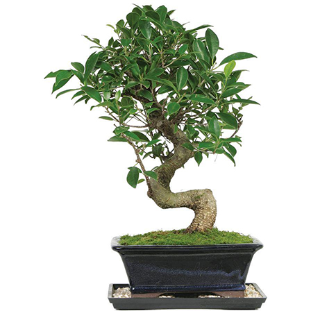 Indoor Plant Bonsai Tree Home Depot