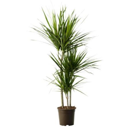 Indoor Plant Dracaena Marginata Ikea